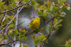 Yellow Warbler Migrates Between South America and Canada