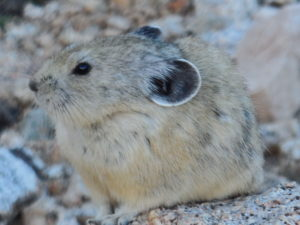 Pika are being forced to move to high elevations.